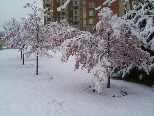 cherry snow photo
