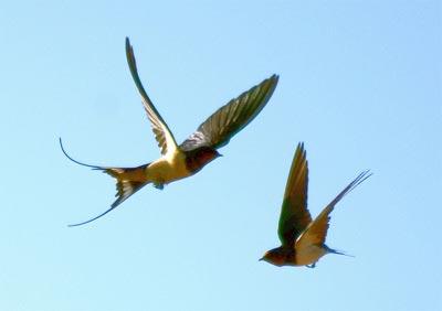 swallows400