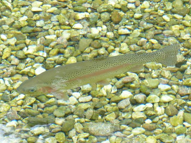 trout photo