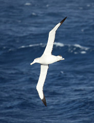 Albatross photo